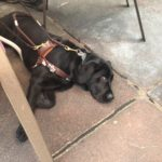 Members Cathy's black Lab guide dog, Noya taking a nap