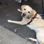 Close up of Annie's yellow lab guide dog, Bailey.